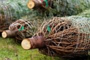 Ceny vánočních stromků nevzrostou výrazně, ale zcela stejné nebudou