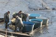 Výlovy rybníků přitahují kontroly veterinářů i obchodní a potravinářské inspekce